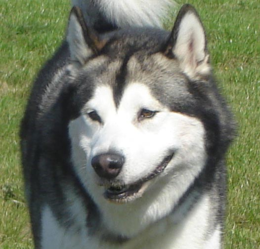 Alaskan Malamute - Zapowiedź miotu