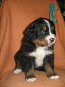 Szczenięta Berneński Pies Pasterski